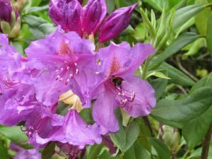 Rhod flowers