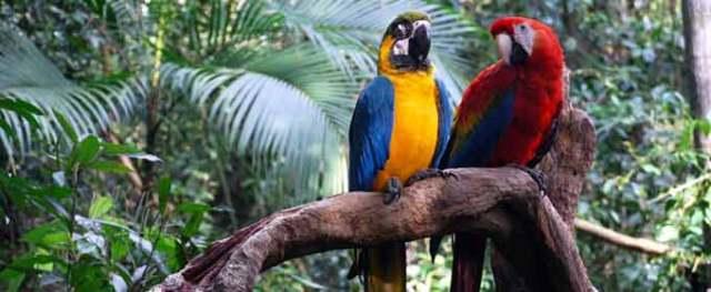 latin-america-parrots